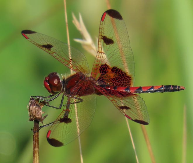 The calico pennant was found perching on dead plant stems in a field near the Oconaluftee Job Corps Center on the North Carolina side of the park.