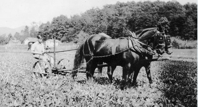 In this undated photograph from the museum's collections, Bill Phillips drives his horse-drawn cultivator through a field.