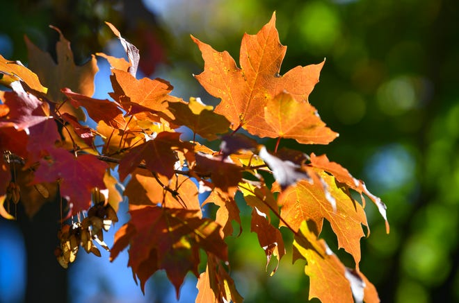 A few Maple leaves show bright colors Wednesday, Sept. 22, 2021, near Lake George in St. Cloud.