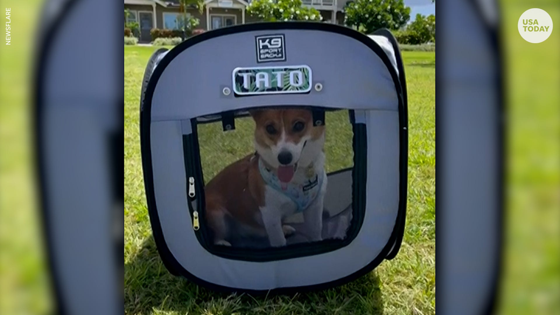Dog carrier can't stop this adorable corgi from hopping through the grass
