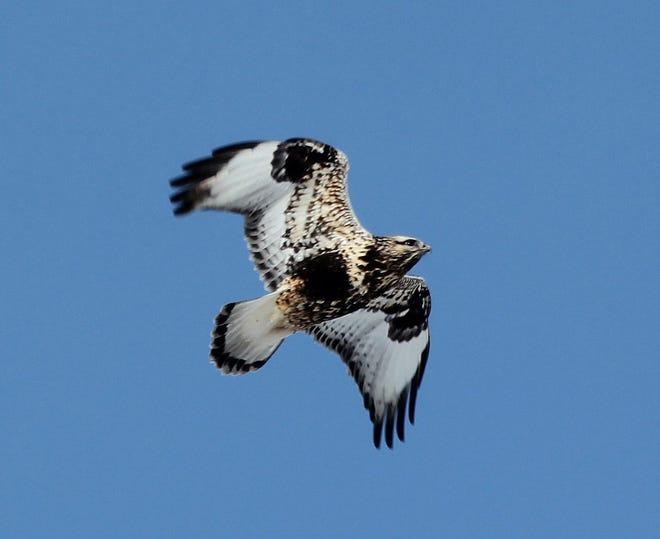 A rough-legged hawk flies over central Iowa.