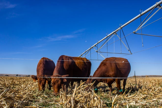 Grazing is a great way to use residue as forage and build soil health at the same time.