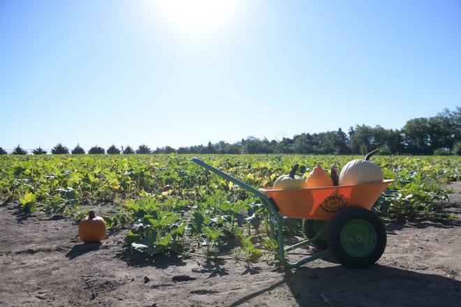 P and M Pumpkin Patch offers multiple pumpkin patch picking fields, with this one being the first one they grew in their first season as a patch according to Tim Kaminkow, co-owner of P and M near Moundridge.