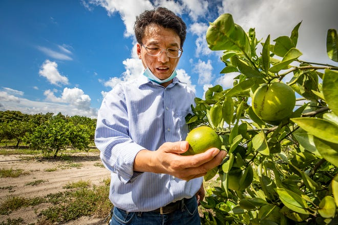 Nian Wang , a professor of microbiology and cell science at the UF/IFAS Citrus Research and Education Center examines a Hamlin orange with canker spots in one of their research groves in Lake Alfred Fl. Wednesday Sept. 22  2021.  ERNST PETERS/ THE LEDGER