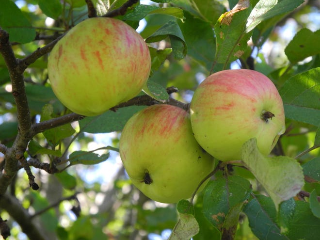 Their names often long forgotten, if only these old abandoned apple trees could speak of their histories. Early settlers to this county grew nearly everything they needed to survive and apples were a staple food providing cider, vinegar, and fresh and dried fruits.