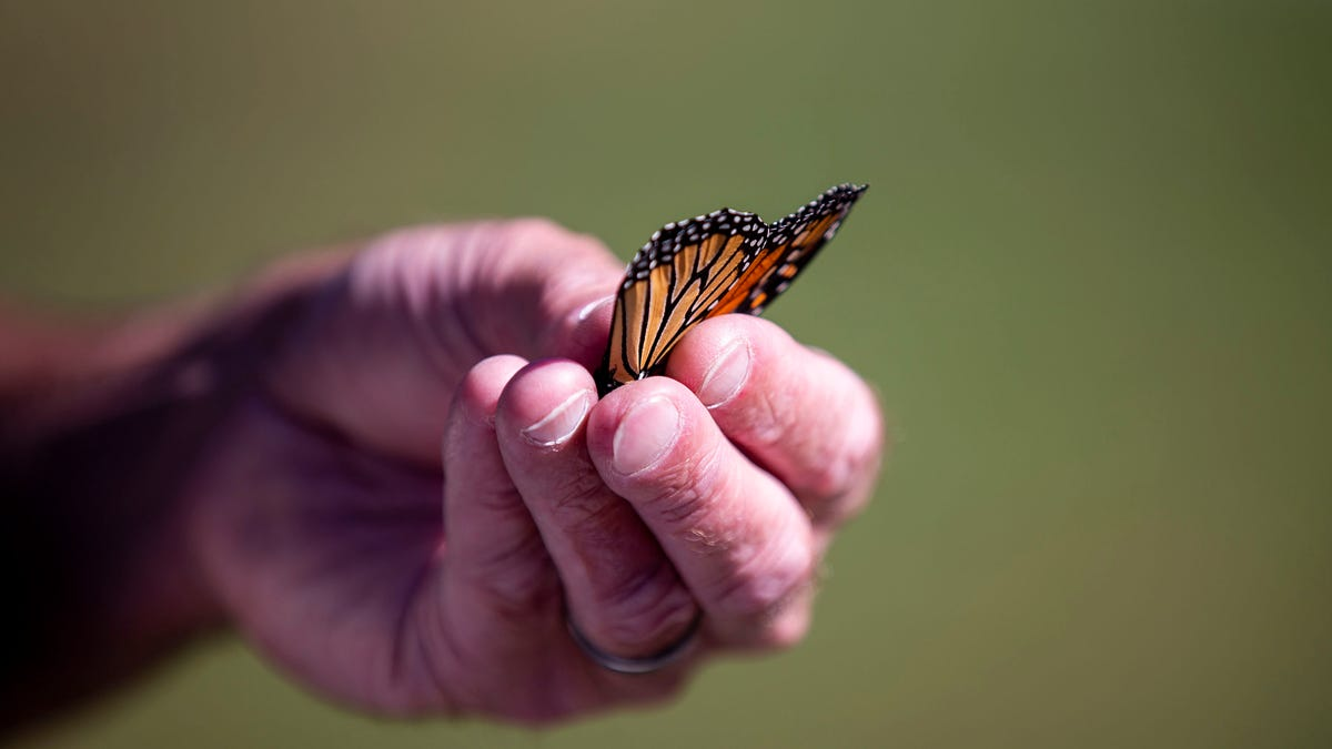 Millions of monarch butterflies cross Iowa each fall on journey to Mexico. Here's why