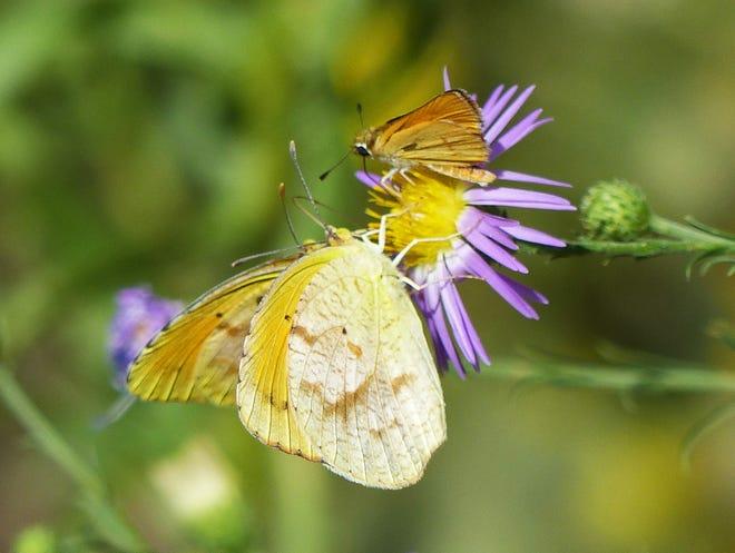Sleepy orange butterflies and an orangeskipperlingsip nectar from a Tahoka daisy.