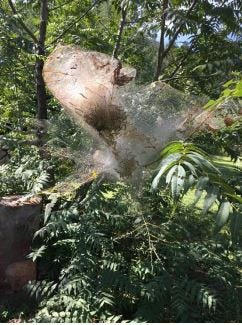 Fall webworm nets near Kingston, New Mexico, in September 2017.