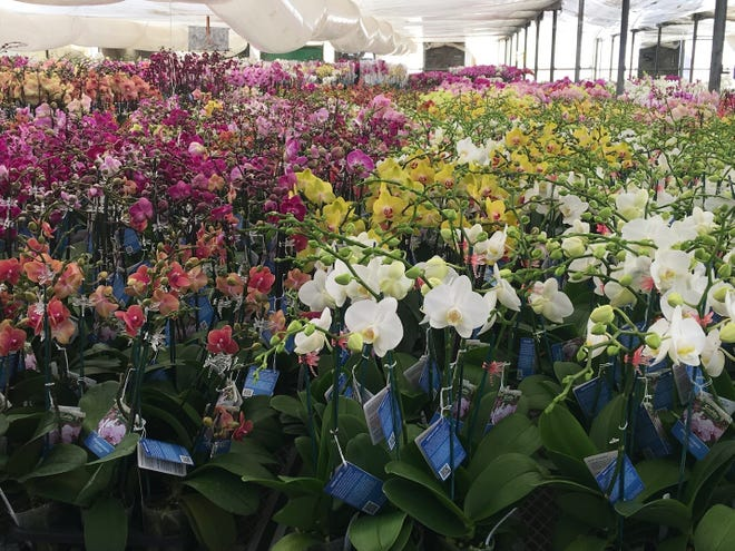 Thousands of orchids will be on display at the 25th annual Morongo Basin Orchid Festival, taking place Oct. 2-3, 2021.