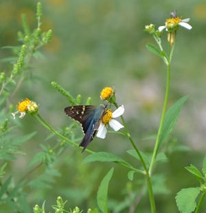Skippers take advantage of late summer Spanish Needle blooms. The native wildflower is a good source of pollen and nectar.