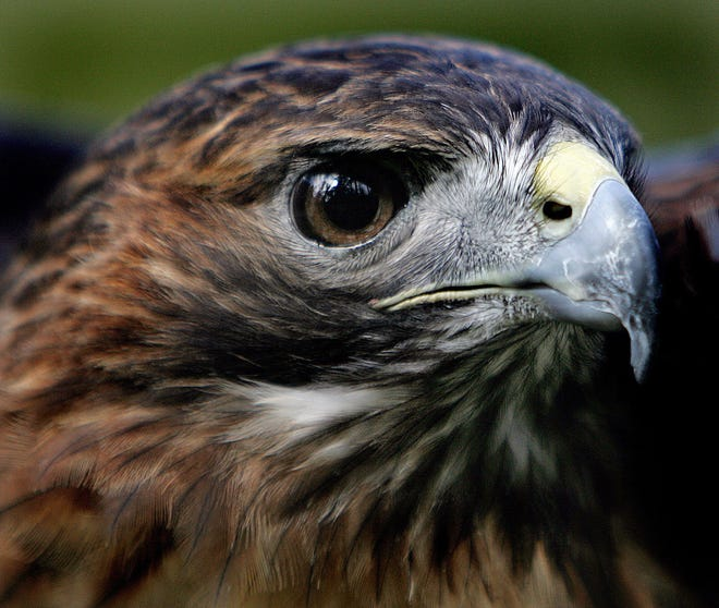 Jamaica, a red-tailed hawk. Her amazing eyes can spot a rabbit from a mile away.