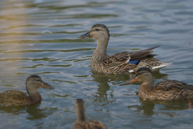 A man acknowledged using a motorboat to concentrate ducks on an Auglaize County lake and drive them from a no-hunting zone to a hunting area where several of the ducks later were killed.