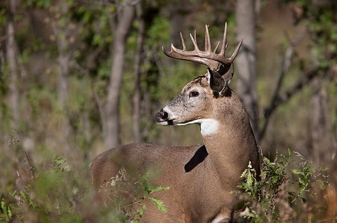 Oklahoma's deer archery season opens on Friday, along with archery hunting seasons for black bear, antelope and elk.