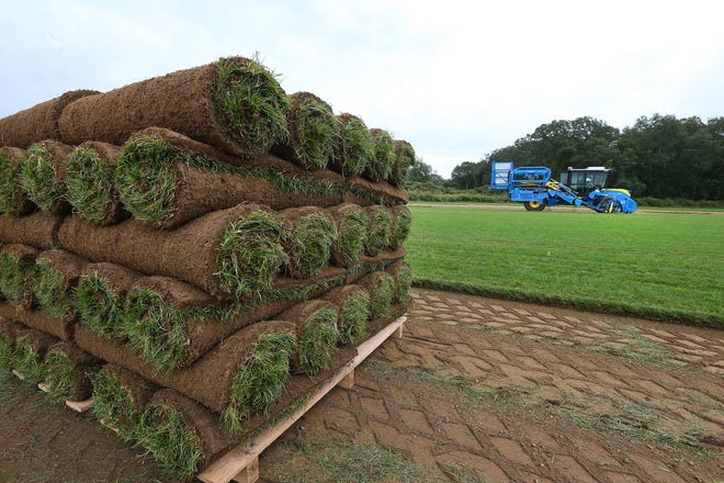 Harvested turf is stacked in rolls on land leased by Kingston Turf Farms. URI terminated the lease on this 55-acre field because of the new greenhouse project planned on the outskirts of its campus.