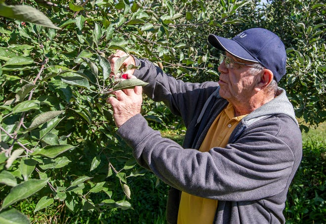 Bill Fullerton picks an apple at Apple Patch in North Liberty on Friday, Sept. 24, 2021.