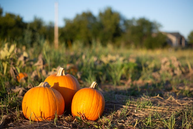 A plump trio of pumpkins awaits a new home in the fields at Berry Hill UPick Farm, 5840 S.E. Croco Road.