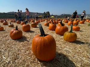 Families explore the pumpkin patch on the opening day of Underwood Family Farm's Fall Harvest on the Farm in Moorpark Saturday.