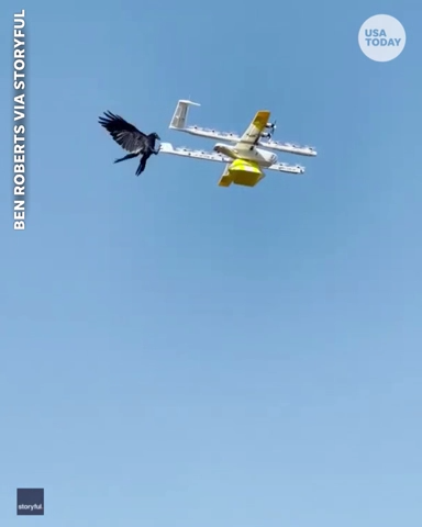 latest news Angry Bird tries to shoot down a delivery drone that has invaded its airspace