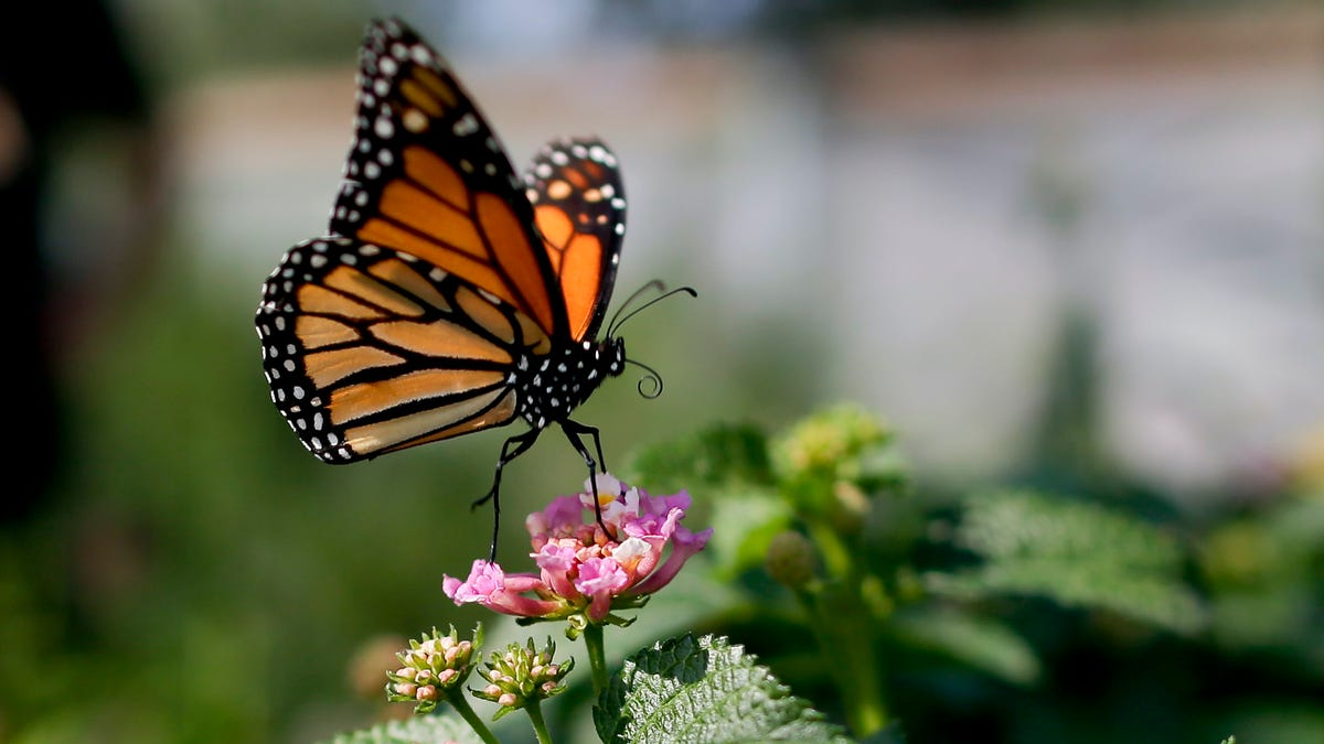 Early hopeful signs from California's plan to bring back monarch butterflies