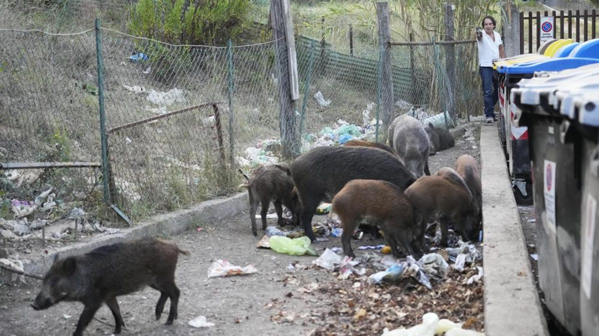 Romans face invasion of wild boars running loose, scavenging overflowing trash bins