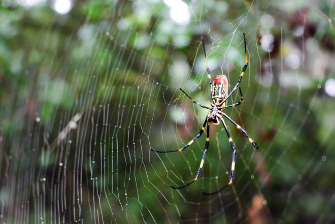 A female Joro spider is shown in Winterville, Georgia. The invasive spider is harmless to humans, and researchers are examining their impact on local ecology.