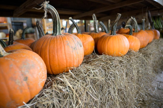 Pumpkins will be available for purchase at Long & Scott Farms starting Friday. Patches and fall festivals abound in Lake County.