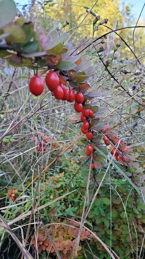 A single branch of Japanese barberry loaded with mature fruits. Imported as a deer-proof ornamental shrub, barberry has quickly spread unchecked across local landscapes.
