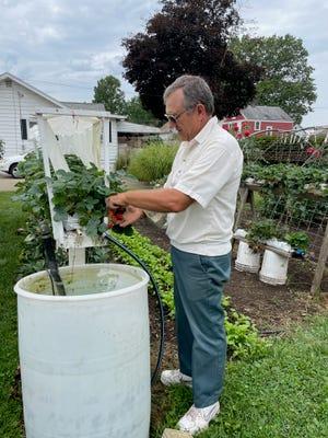 Greg Stover picks strawberries from his organic garden.