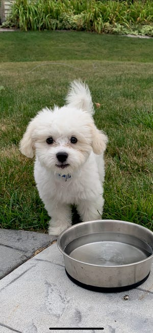 Yogi, four-month old puppy stolen with a vehicle on Aug. 20