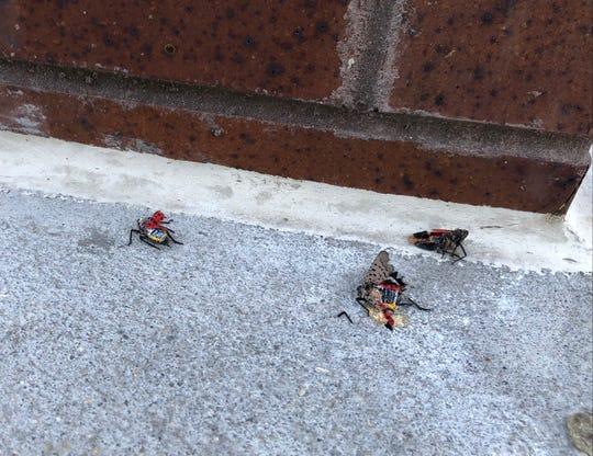 Several squashed spotted lanternflies near the 9th Street Hudson-Bergen Light Rail station in Hoboken on Sept. 27, 2021.