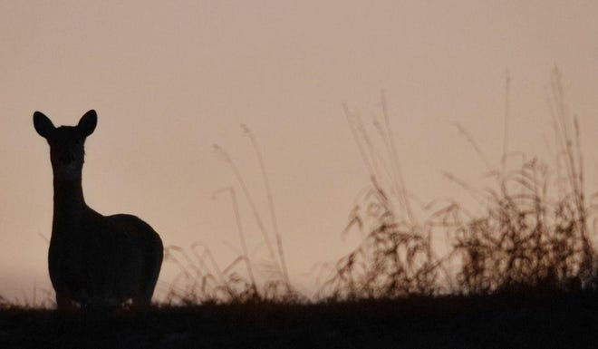 A white-tailed deer stands in silhouette in a clearing as the sun sets in Sommer Park in Peoria.