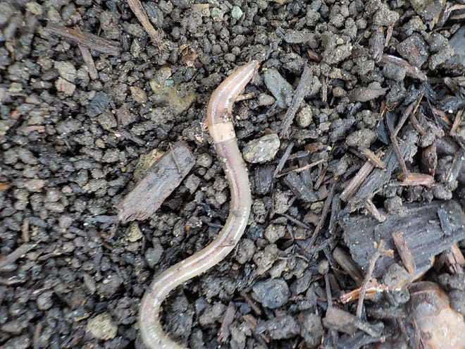 The soil surface is covered with castings that look like coffee grounds when jumping worms are present.