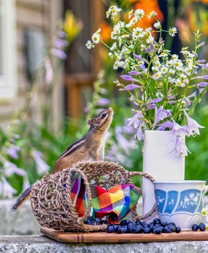 """The exhibit """"Quarantine Critters"""" features photographs of squirrels and chipmunks taken in mini sets created by Susan Sheldon of Coloma during the COVID shutdowns of 2020 and is one of five exhibits on display through Oct. 30 at the Box Factory for the Arts in St. Joseph."""