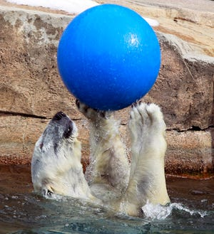 Snow Lilly, shown at play at the Milwaukee County Zoo in March 2011. The zoo's beloved polar bear died Sept. 24, 2021, at age 36. At the time, she was the oldest polar bear living in human care in North America.
