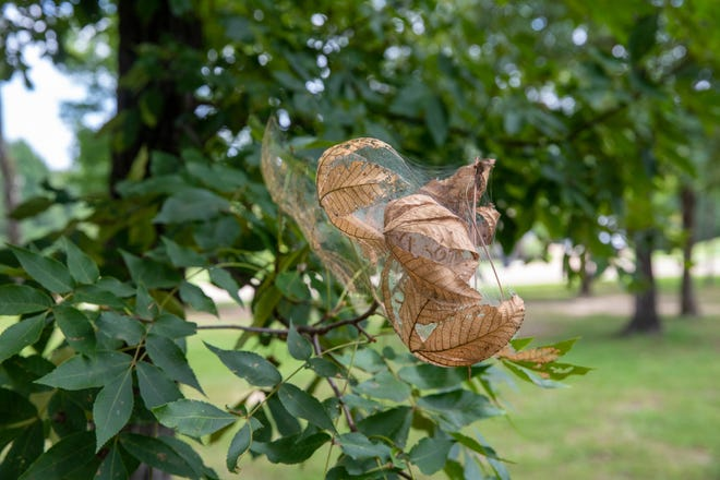 Catapillar web with eggs in tree, for a fall webworm