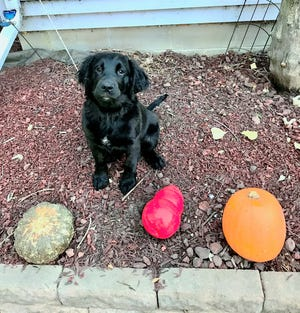 Bella, a 4-month-old Spangold, sits for a photo. A rubber dog toy lays where a pumpkin once sat.