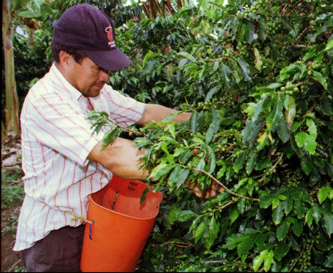 A worker picks coffee on a plantation in Colombia's coffee-growing region southwest of the capital of Bogota in this undated file photo.