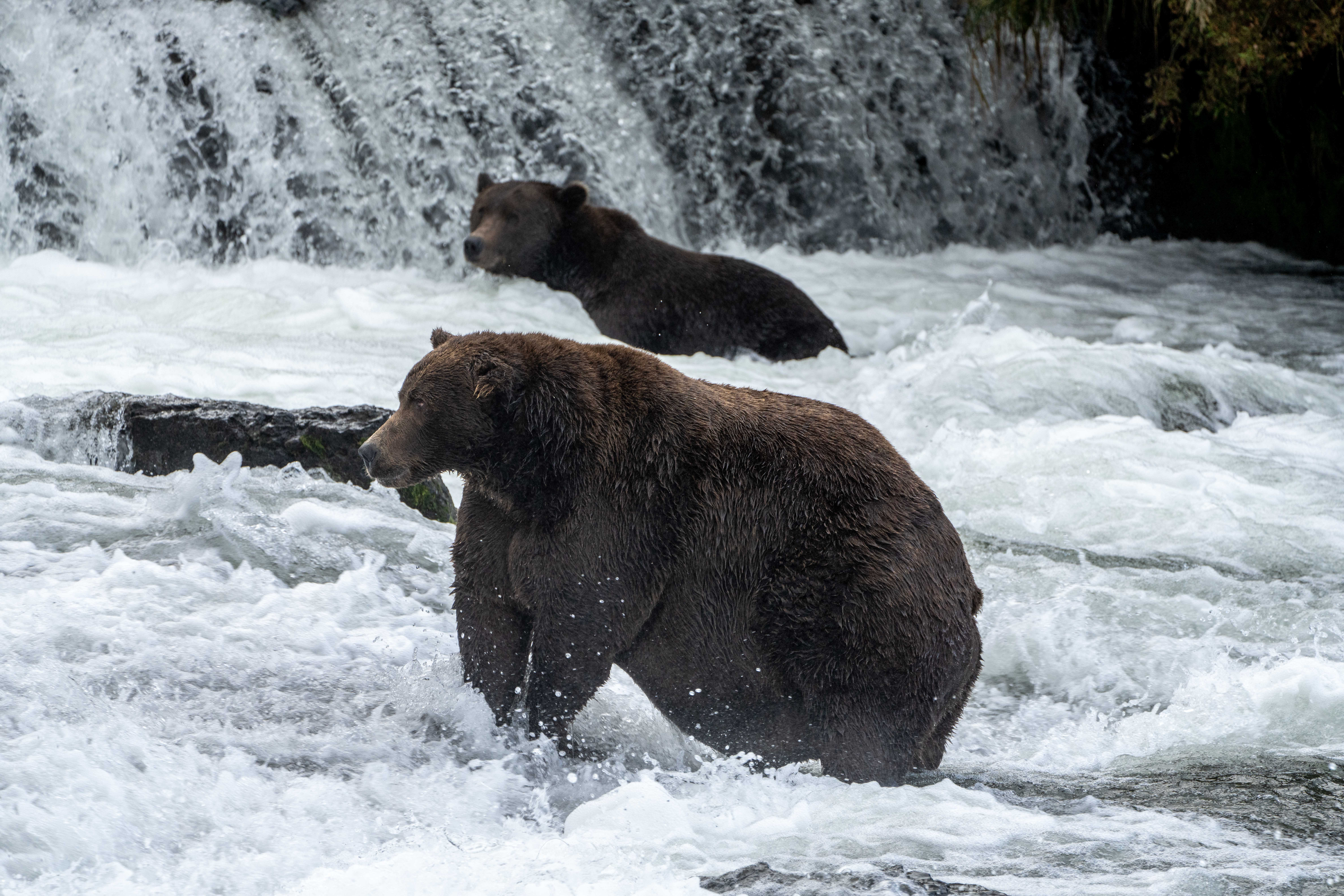 Two brown bears stand in the water.