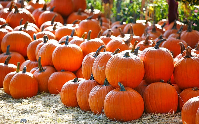 It's pumpkin picking season on the South Shore.