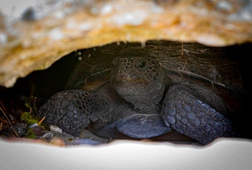 A gopher tortoise in a burrow at the Jupiter Ridge Natural Area in Jupiter, Tuesday, August 11, 2020.