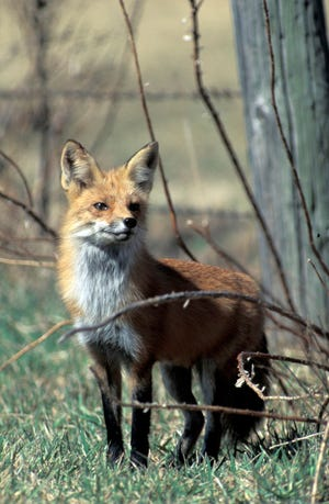 Missouri Department of Conservation is teaming up with Tower Grove Park to help introduce families to wildlife found in the park, like red foxes, at the Fall Frolic Sunday, Oct. 17 from 2-6 p.m.  This event is free and open to people of all ages.