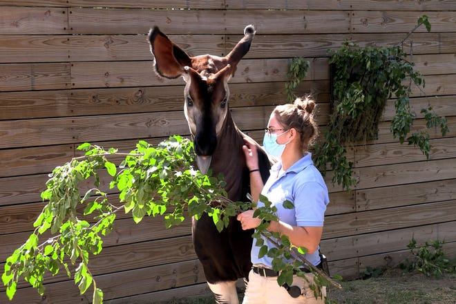 A Potawatomi Zoo worker feeds a tree branch to an okapi. The zoo announced a new partnership with I&M, which will provide trees and shrubs to help feed the animals.