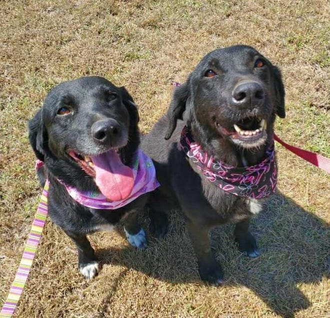 Sadie and Biscuit are 12-year-old female Lab mixes. They are bonded sisters, meaning they must be adopted together. They are both very sweet. They walk fairly well on a leash. Biscuit is the more outgoing of the two. Sadie can be a little shy around new people but warms up pretty fast. Sadie is heartworm positive and has started treatment. Biscuit is heartworm negative. They may be seniors but they still have a lot of energy left in them. They are both spayed, fully vaccinated and microchipped. They have been at the Erath County Humane Society since May 1. For more information or to adopt Sadie and Biscuit, call the ECHS at (254) 965-3247.