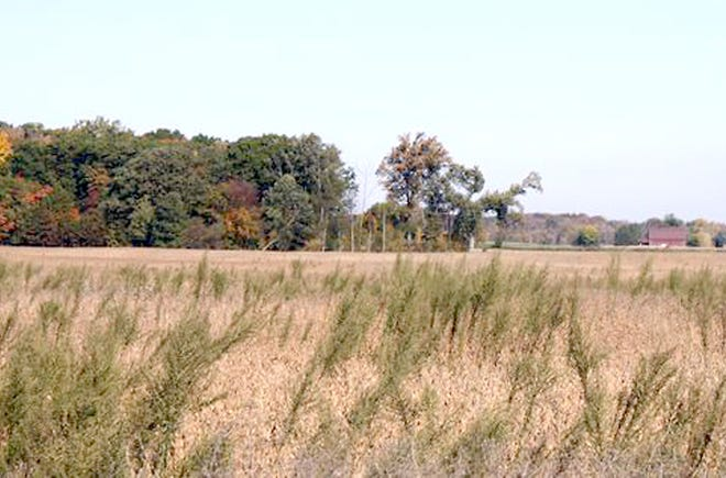 Horseweed (marestail) in soybeans.