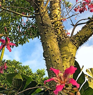Unusual blooms and a wicked-looking, thorny trunk makes the silk floss tree a favorite of plant collectors. Plant these trees in large, open spaces with well-draining soil and full sun for stunning fall blooms and curious bark.
