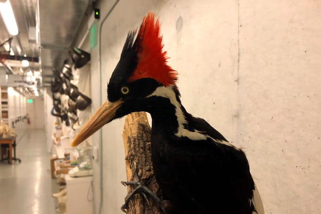 An ivory-billed woodpecker specimen is on a display at the California Academy of Sciences in San Francisco, Friday, Sept. 24, 2021. This week,theU.S. Fish and Wildlife Service concludedthat this bird – known for its striking red crest and white beak and itsunearthly call– is officially extinct.