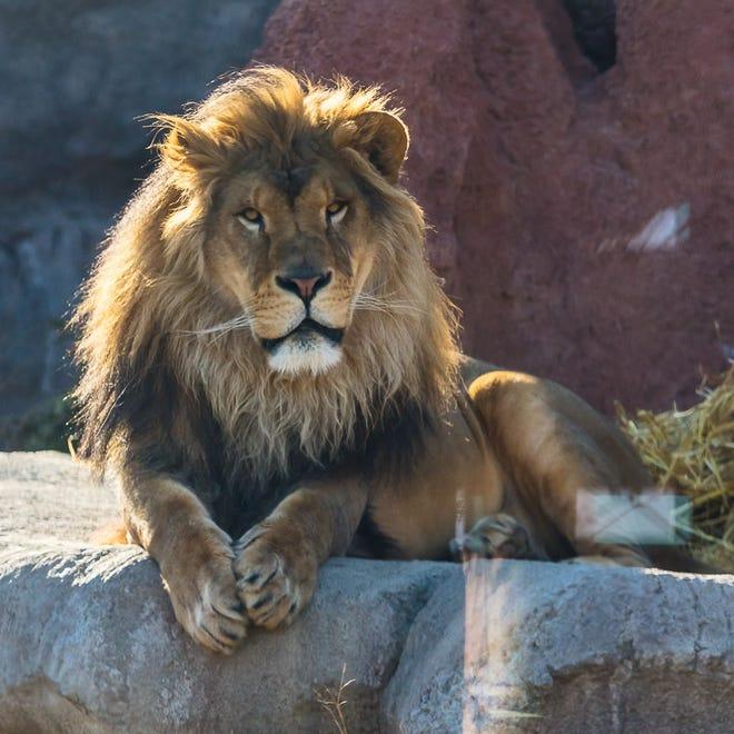 Donovan, a male lion at the Akron Zoo.