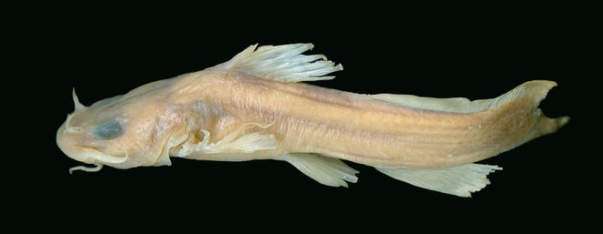 The U.S. Fish and Wildlife Service is proposing to remove 23 species from the Endangered Species Act list due to extinction. Among the species proposed for delisting is the Scioto madtom, a small, nocturnal species of catfish.