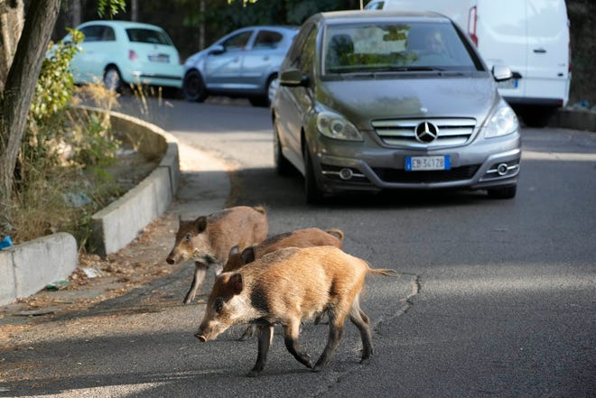 Wild boars cross a street in Rome, Friday, Sept. 24, 2021. They have become a daily sight in Rome, families of wild boars trotting down the city streets, sticking their snouts in the garbage looking for food.
