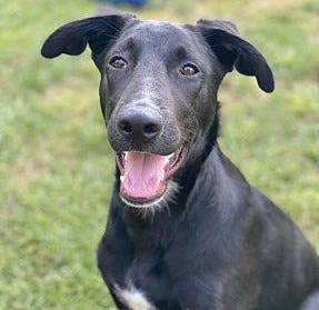 AJ, a Great Dane/Lab mix, is available at Rhode Home Rescue.